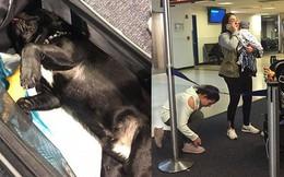 Chú chó bulldog chết thảm trên chuyến bay của United Airlines sau bị khi tiếp viên hàng không yêu cầu nhét vào khoang hành lý