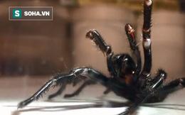 Phát hiện loài nhện độc nhất và quý nhất ở Australia