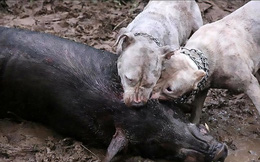 Sau chợ tiêu thụ thịt mèo ở thành phố HCM, vụ thả chó chiến cắn xé lợn rừng ở Việt Nam lên báo nước ngoài