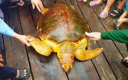 Ngư dân bắt được rùa biển quý, vàng óng nặng 80kg
