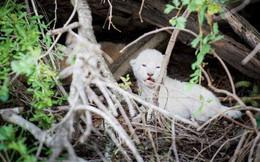 Phát hiện sư tử trắng cực quý hiếm lại siêu đáng yêu khiến cư dân mạng phát cuồng