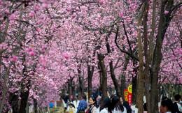 24h qua ảnh: Du khách chiêm ngưỡng hoa anh đào nở rộ ở Trung Quốc