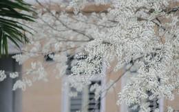 Lưu luyến khó quên với sắc hoa sưa rợp trắng trời Hà Nội