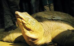 Phát hiện rùa Hoàn Kiếm ở Sơn Tây: Liệu có nhân được giống?