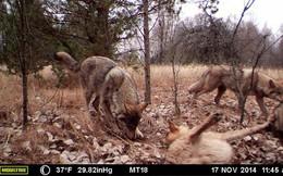 Chernobyl là thảm họa của con người, nhưng lại là tin vui với động vật hoang dã trong khu vực này