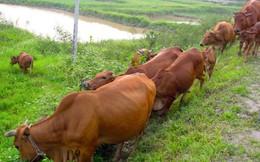 Lãnh đạo xã lên tiếng việc chăn thả trâu, bò ở Thanh Hóa phải nộp phí cỏ