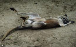 Du khách Trung Quốc ném đá kangaroo tới chết