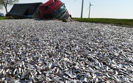 7 ngày qua ảnh: Xe tải chở 20 tấn cá lật trên đường