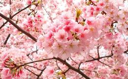 """Hoa anh đào: """"Mỏ vàng"""" cho kinh tế Nhật Bản"""
