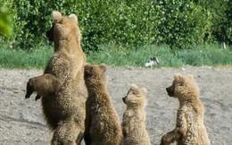 Gấu nâu đã buộc phải tiến hóa vì một lý do thực sự đáng... mỉa mai