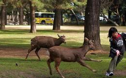 """Hơn 200 vụ hươu cắn khách du lịch ở công viên Nhật Bản, chính quyền phải gấp rút ra bản hướng dẫn """"cho hươu ăn an toàn"""""""