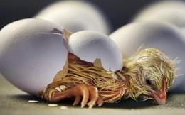 Chim non yếu ớt nhưng phá được vỏ trứng cứng để chui ra, nguyên nhân nằm ở thứ này