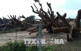 Yêu cầu Kiểm lâm các tỉnh báo cáo tình hình khai thác, vận chuyển cây cổ thụ