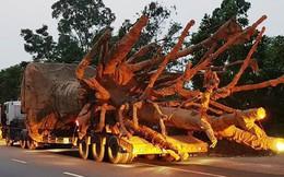 Tài xế vận chuyển 3 cây khổng lồ khai chiêu thức bí mật né hàng chục trạm CSGT