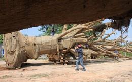 Vụ CSGT bắt 3 cây khổng lồ: Kiểm lâm trả 2 cây cho chủ sở hữu