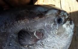 Thương lái trả 5 triệu đồng, ngư dân vẫn mang cá mặt trăng quý hiếm tặng bảo tàng