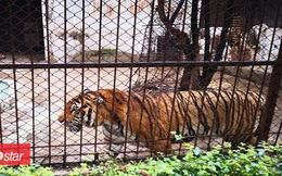 Đang dọn chuồng, nhân viên sở thú bị hổ vồ đến chết