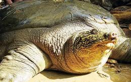 Đề xuất xác định giới tính 2 cá thể rùa Hoàn Kiếm