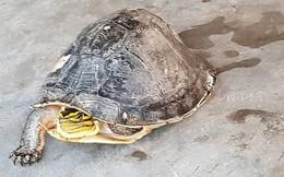 Người dân Sóc Trăng bắt được rùa hộp quý hiếm