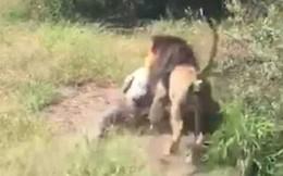 Bị sư tử tấn công, kéo vào trong chuồng, chủ một công viên hoang dã may mắn sống sót đầy kỳ tích