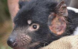 Phá hủy môi trường, con người đang khiến nhiều loài động vật mắc ung thư