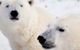 9 sự thật ngỡ ngàng về động vật ở Bắc Cực mà không phải ai cũng biết