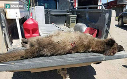 Các nhà khoa học đau đầu khi phát hiện ra sinh vật bí ẩn giống sói nhưng không phải sói