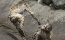 """Khỉ đánh nhau chuyên nghiệp như võ sĩ khiến nhiếp ảnh gia được phen """"rửa mắt"""""""