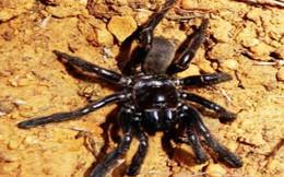 Phát hiện con nhện sống lâu nhất thế giới ở Tây Úc