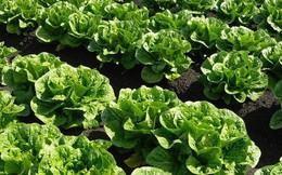 Tử vong do khuẩn E.coli liên quan đến rau diếp