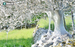 Cái cây kỳ lạ bên bờ sông nước Anh, không bệnh tật nhưng toàn thân hóa màu trắng muốt