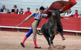 Bò tót thật ra chẳng ghét màu đỏ như ta lầm tưởng, chúng nổi điên tấn công dũng sĩ đấu bò hóa ra là vì điều này