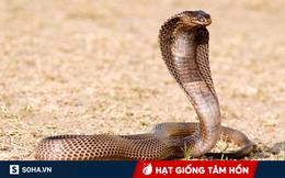 Bị dân làng chọc phá, con rắn hổ mang bao năm không cắn người bất ngờ phản kháng