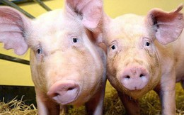 Con lợn này chỉ có 99,9999991% là gene của nó và đang gánh vác tương lai nhân loại trên vai