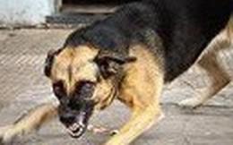 Đàn chó dại gần 10 con cắn nhiều người ở Cà Mau