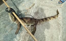 CLIP: Người dân truy bắt cá sấu sổng chuồng giữa đồng