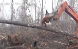 Video: Xót xa giây phút đười ươi 'ngăn' máy xúc phá rừng
