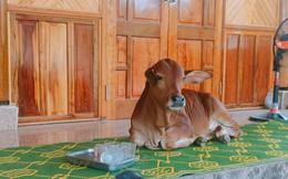 """Con bò """"ểnh ương"""" hot nhất MXH hôm nay: Lên hiên nhà ngồi chiếu thưởng trà không màng thế sự"""