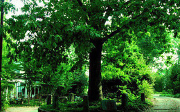 """Ở Mỹ có một cây sồi """"thừa kế"""" đất từ chính """"cha"""" của nó, được luật pháp bảo vệ nên không ai dám động tới"""