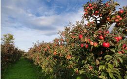 Ghé thăm vườn táo gần 300 tuổi đẹp như ở xứ sở thiên đường