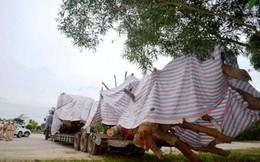 Quảng Ngãi: Họp giải quyết cây 'siêu khủng' hồ sơ bất thường