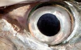 Nghiên cứu về mắt cá mở ra cách chữa sỏi thận, bệnh gút