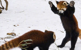 """Biểu cảm """"Hăm doạ kẻ thù"""" của loài gấu trúc đỏ làm chao đảo cộng đồng mạng vì dễ thương quá"""