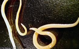 """Sinh vật cổ đại 42.000 tuổi này bất ngờ """"sống"""" lại dưới bàn tay nhà khoa học Nga"""