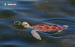Tìm ra nguyên nhân khiến gần 300 con rùa biển chết tại bờ biển Florida?