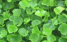 Các loại lá cây uống mát gan bạn không nên bỏ qua