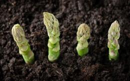 Nếu nhà bạn chỉ có thể trồng cây trong chậu thì đừng bỏ lỡ cơ hội thử trồng măng tây nhé