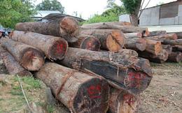"""Kỷ luật nhiều kiểm lâm để trùm gỗ lậu Phượng """"râu"""" lộng hành"""