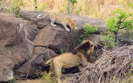 Thấy sư tử tiến tới gần, báo mẹ đã làm gì để bảo vệ đàn con?