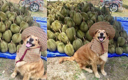 Chú chó nhỏ đội mũ chống nắng, hớn hở ngồi bán sầu riêng khiến dân mạng thích thú